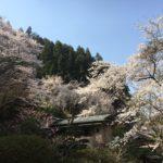 04/07/2019 Yoshino Ultimate Cherry Blossom Walk