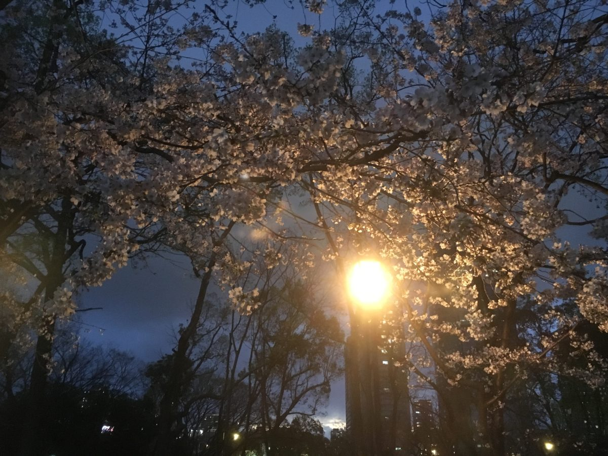 03/31/2019  First Night Sakura Walk