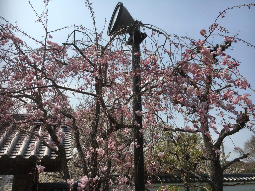 04/06/2019 Afternoon Bloom stroll in Satsukiyama