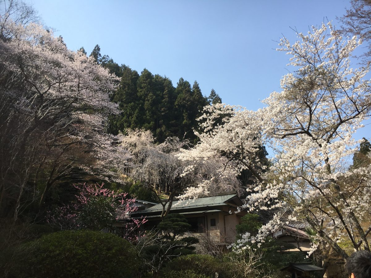 04/07/2019 Yoshino Ultimate Cherry Blossom Walk